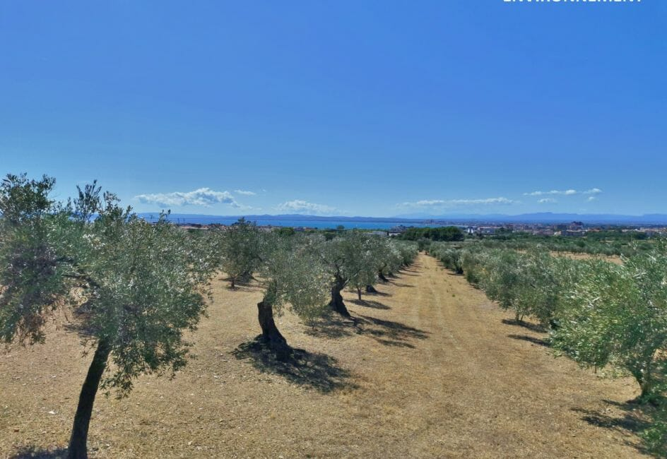 aperçu des oliviers et la mer à proximité